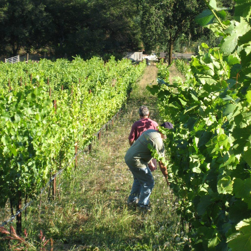 Owner & Winemaker walking the rows